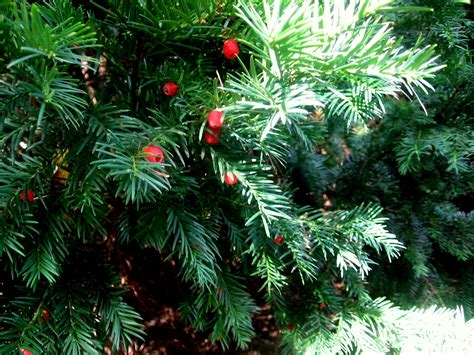 """Yew: the life-giving """"Tree of Death""""   Berlin Plants"""