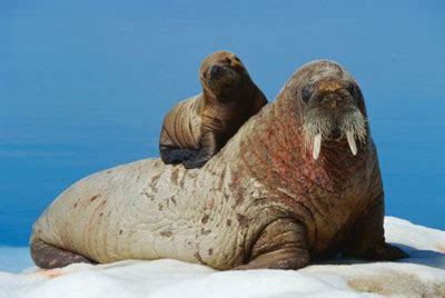 Baby Walruses: No Tusks, But Lots Of Cute   Baby Animal Zoo