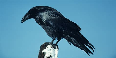 The Difference Between Crows And Ravens - KnowledgeNuts