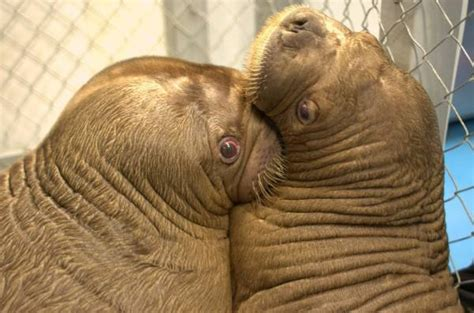 17 Heartwarming Pictures Of Mitik, The Orphaned Baby Walrus