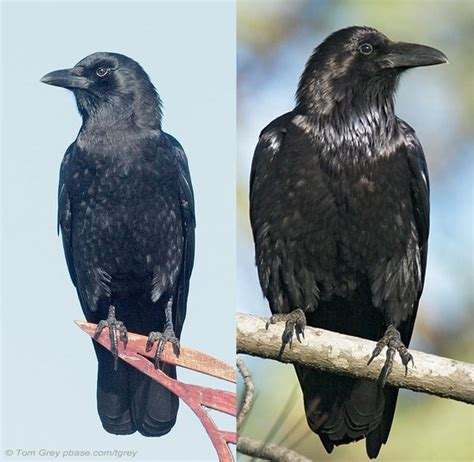 What is the relationship between crows and ravens? - Quora