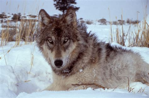 History of wolves in Yellowstone - Wikiwand