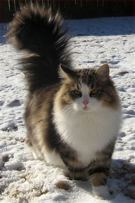 The Most Visually Stunning Cat Breeds - ViewKick