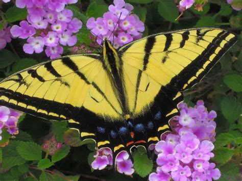 Swallowtail Butterfly Flower Core Yellow And Black, With