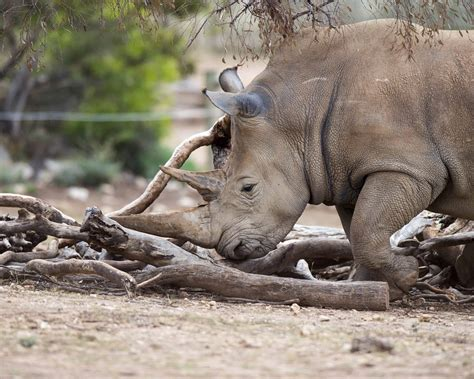 One step closer to giving rhinos a future in Australia