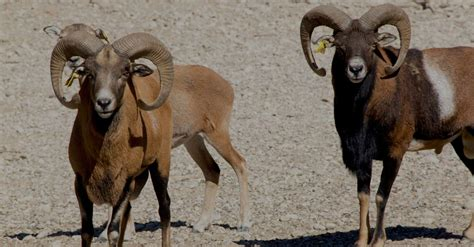 Get to Meet and Feed our Mouflon Sheep at the Farma of