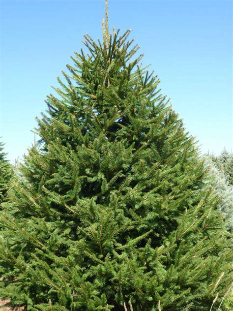 Wholesale Norway Spruce Trees