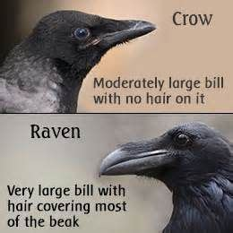 raven vs crow - - Yahoo Image Search Results | Beautiful
