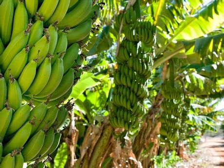 Answers for Growning banana - IELTS listening practice test