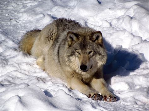 File:Gray Wolf, Omega Park, QC